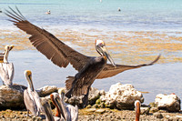 Brown Pelicans on the Beach-3