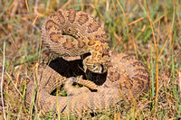 Rattlesnake Coiled to Strike-5