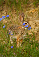 Cottontail Rabbits-1