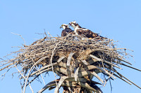Ospreys in Nest, Everglades National Park-6
