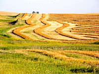 Swathed small grain field, North Dakota-1