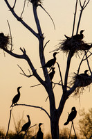 Cormorants Nesting in Tree-9