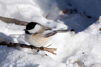 Black-capped Chickadee on a Branch in the Snow