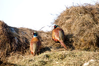 Rooster Pheasants on Hay Bales (1 of 1)
