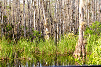 Cypress Trees, Big Cypress Preserve