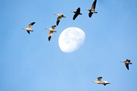 Snow Geese Flying Past the Moon-2
