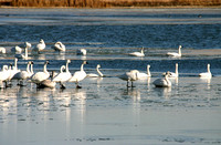Swans on the Ice-2