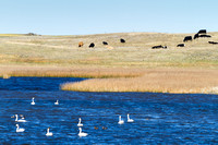 Tundra Swans and Cattle