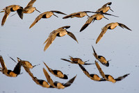 A Flock of Dowitchers In Flight - Reflection