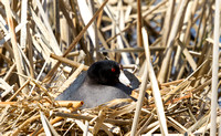 American Coot on a Nest-6