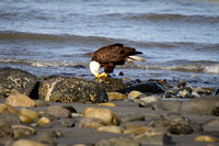 Bald Eagle on an Alaskan Beach-5