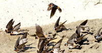 Cliff Swallows Gathering Mud for a Nest-6