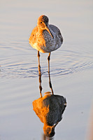 Willets and Reflection in a Marsh-3