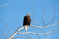 Bald Eagle Perched in a Tree-4