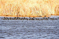 Flock of American Coots-4