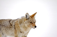Coyotes in the Snow-3-2