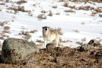 Wolf Howling, Yellowstone National Park, Wyoming-6
