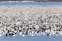Snow geese during their Spring Migration-11
