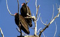Turkey Vultures in a Tree