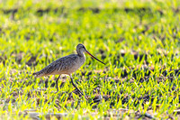 Marbled Godwit on the Prairie-2
