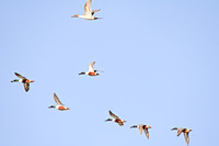 Northern Shovelers in Flight-3