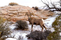 Desert Bighorn Sheep, Canyonlands National Park, Utah-9