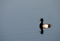 Scaup on a Pond-4
