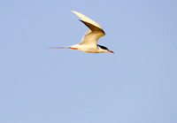 Common Tern Flying