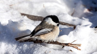 Black-capped Chickadee on a Branch in the Snow-2