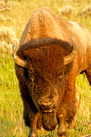 An Angry Bison with a Broken Horn, North Dakota Badlands