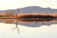 Bald Eagles and Sandhill Cranes, Bosque del Apache, New Mexico