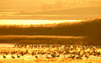Waterfowl over a North Dakota Slough at Sunrise-2