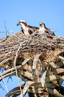 Ospreys in Nest, Everglades National Park-4