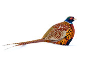 Pheasants in the Snow (4 of 17)