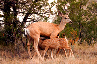 Mule Deer Doe and Fawns Nursing in the North Dakota Badlands-2