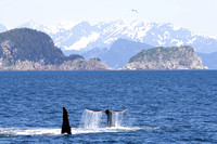 Humpback whale, Kenai Fjords National Park-7