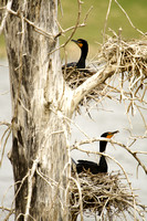 Cormorants Nesting in Tree-13