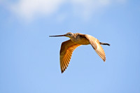 Marbled Godwit in Flight-4