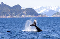 Humpback Whale Tail-Slapping-5