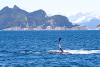 Humpback Whale Showing his Flukes and Flippers-16