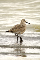 Willets in a Dakota Marsh-3