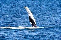 Humpback Whale Showing his Flukes and Flippers-12