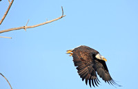 Bald Eagle in Flight-3