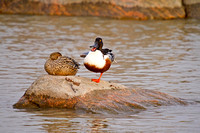 Northern Shovelers on a Rock