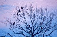 A Large Group of Bald Eagles Perched in a Tree-2