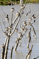 Cormorants Nesting in Tree-14