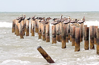 Brown Pelicans on an Old Pier