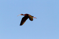White-faced Ibis in Flight-2