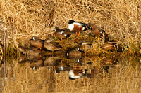 Blue-winged teal and Shoveler on a Bank