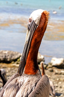 Brown Pelicans on the Beach-2